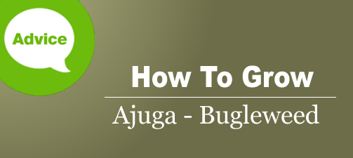 How To Plant, Grow & Care For Ajuga Buglweed